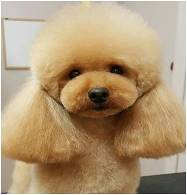 Best Dog Grooming Clippers for Poodle Hair