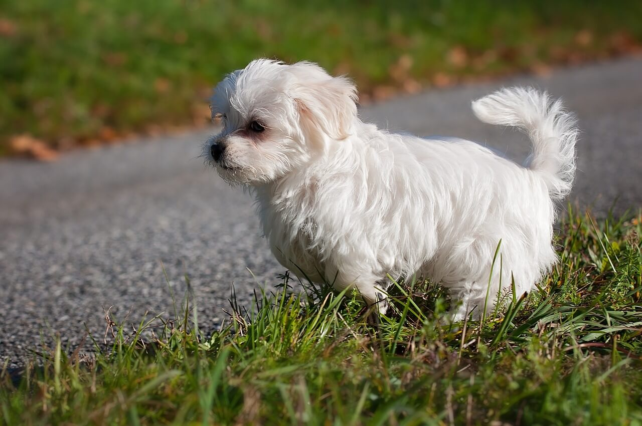 Dog Clippers for Maltese